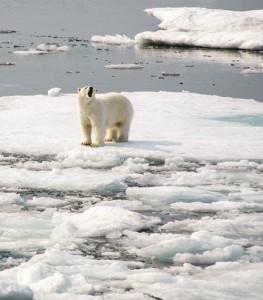Polar Bear, South Baffin