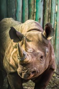 D.DeVilliers_Blk.Rhino-Relocation.2014_4