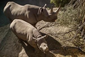 D.DeVilliers_Blk.Rhino-Relocation.2014_5