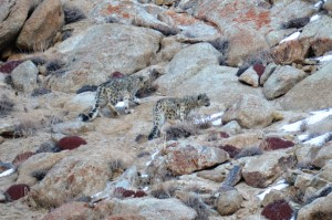 Snow leopards are being sighted more frequently since win-win conservation and ecotourism partnerships have taken hold. Photo: Karma Quest