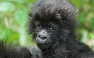 Ubwira or Courage, Baby Gorilla Named by Kent Redding at 2015 Kwita Izina Naming Ceremony, Rwanda - courtesy of Rwanda National Parks