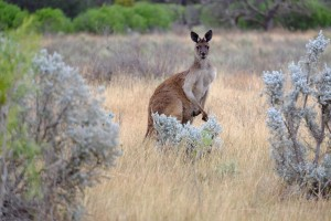 SOUTH-AUSTRALIA-WILDLIFE