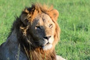 Lion_Kenya_(C)WorldAnimalProtection