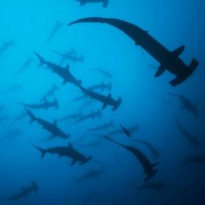 wicked-adventures-hammerhead-shark-diving