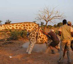 giraffe-conservation-safari-credit-wilderness-travel