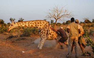 giraffe-conservation-safari-credit-wilderness-travel
