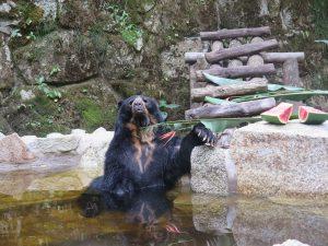 inkaterra_bear-in-pool