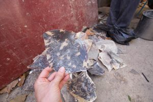 Hawksbill Sea Turtle shell scales (scutes) waiting to be used by artisans in Managua to produce sea turtle shell jewelry, Nicaragua © Hal Brindley