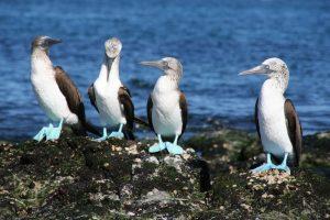 bluefootedboobies