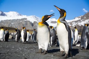 kind-penguins_south-georgia_michael-baynes