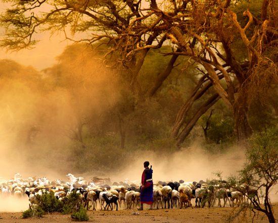 maasai-shepherd-leading-flock-of-goats-kenya-east-africa_154715039