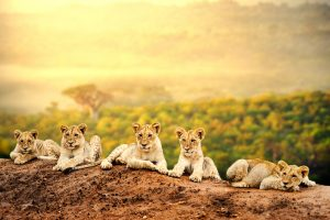 Lion cubs waiting together