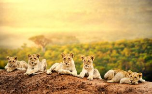 Lion cubs waiting together